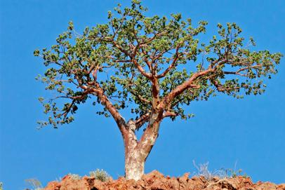 Ces arbres qui guérissent
