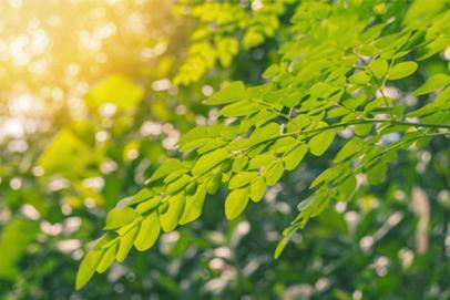Les bienfaits et vertus du moringa